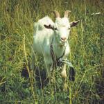 Exploataţii caprine